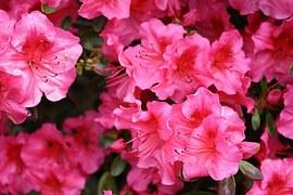 rhododenron-217367__180